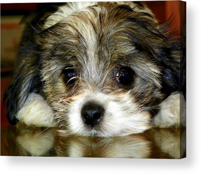 Puppies Acrylic Print featuring the photograph Eyes On You by Karen Wiles