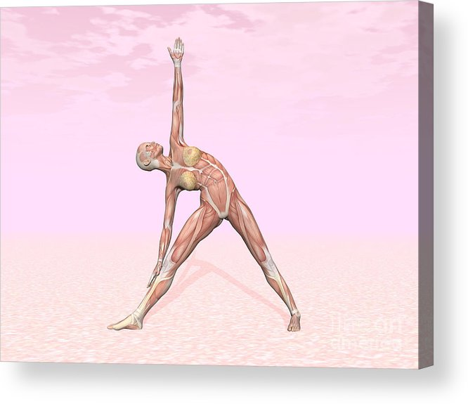 Anatomy Acrylic Print featuring the digital art Female Musculature Performing Triangle by Elena Duvernay