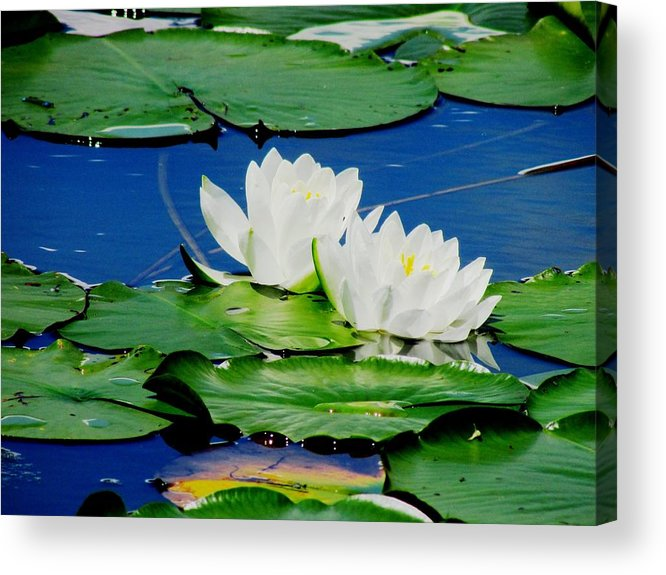 water Lilies Acrylic Print featuring the photograph Floating by Will Boutin Photos