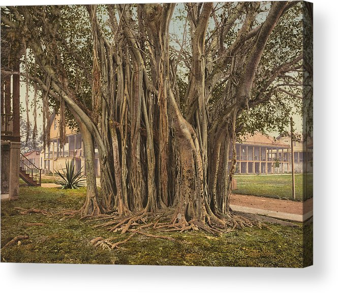 1890 Acrylic Print featuring the painting Florida Rubber Tree, C1900 by Granger