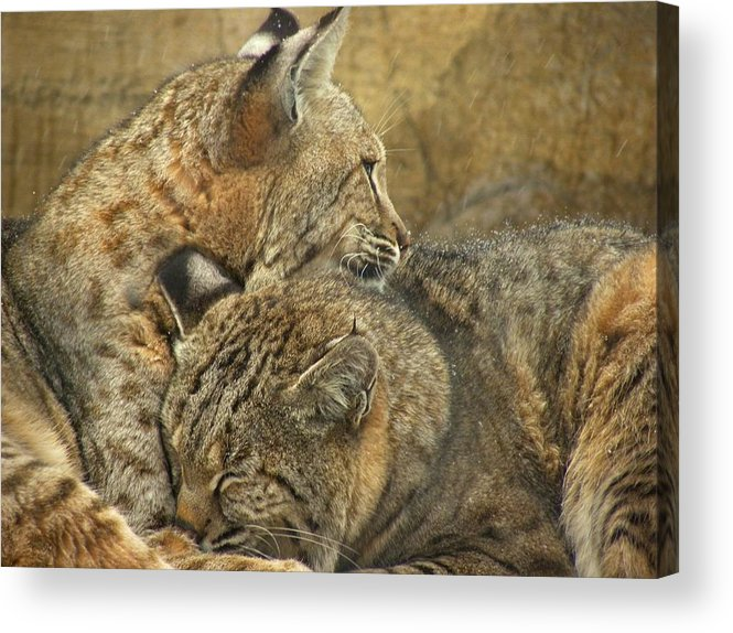 Bobcats Acrylic Print featuring the photograph Forever by Teresa Schomig