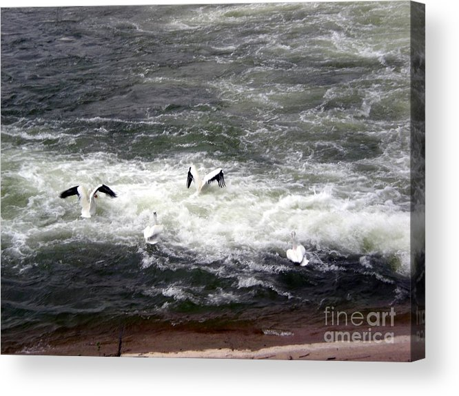 Four Acrylic Print featuring the photograph Four Pelicans By The Weir by Eejee Art