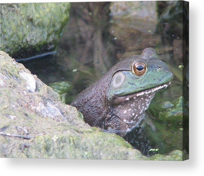 Frog Acrylic Print featuring the photograph Frog by Gina Boebel