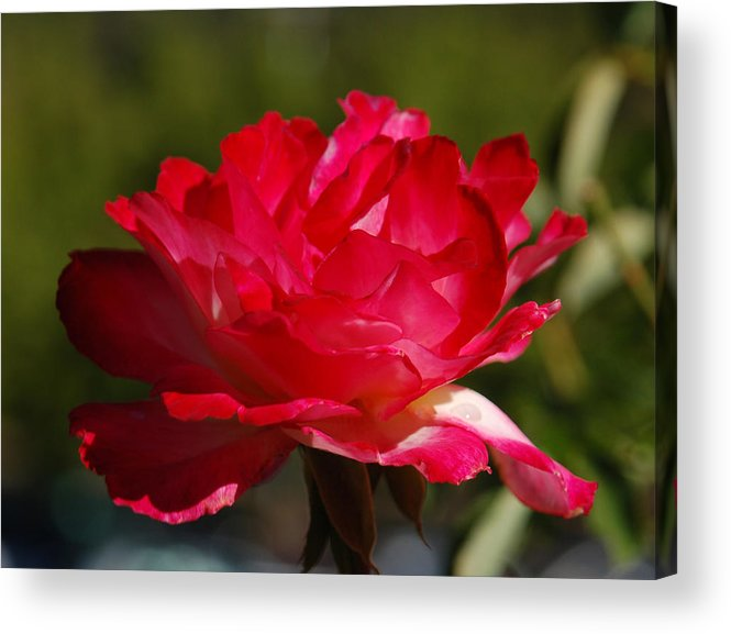 Floral Acrylic Print featuring the photograph Fuchsia by Suzanne Gaff