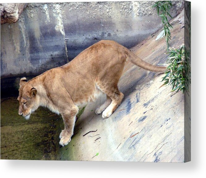 Animal Acrylic Print featuring the photograph Golden Fur Lioness by Joseph Baril