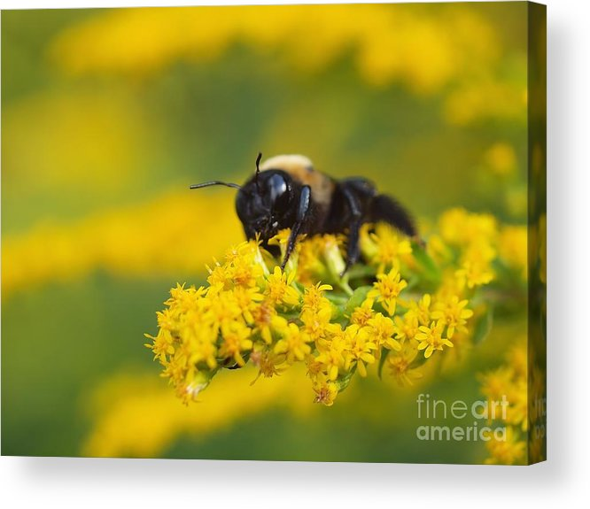 Goldenrod Bumblebee Yellow Acrylic Print featuring the photograph Golden Rod And Bumblebee by Frank Piercy