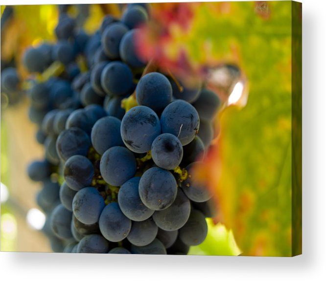 Grape Acrylic Print featuring the photograph Grapes On The Vine by Bill Gallagher
