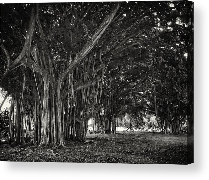 Banyan Acrylic Print featuring the photograph Hawaiian Banyan Tree Root Study by Daniel Hagerman