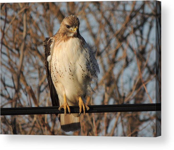Redtail Hawk Acrylic Print featuring the photograph Hawk #21 by Todd Sherlock