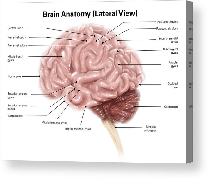Human Brain Anatomy Lateral View Acrylic Print By Alan Gesek