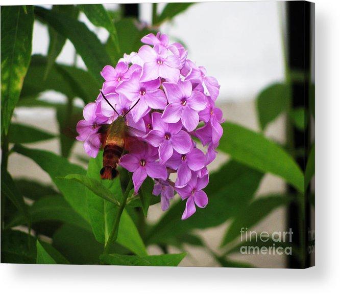 Flower Acrylic Print featuring the photograph Humingbird Moth by Nancie Johnson