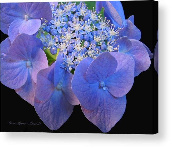 Hydrangea Acrylic Print featuring the photograph Hydrangea Blossom Macro by Brooks Garten Hauschild