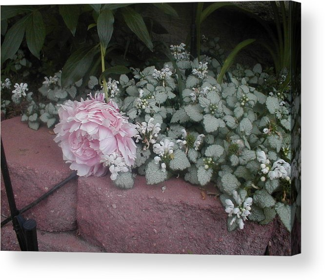 A Peony Fell Over Into Grown Cover Acrylic Print featuring the photograph Light Pink Peonies by Paul - Phyllis Stuart