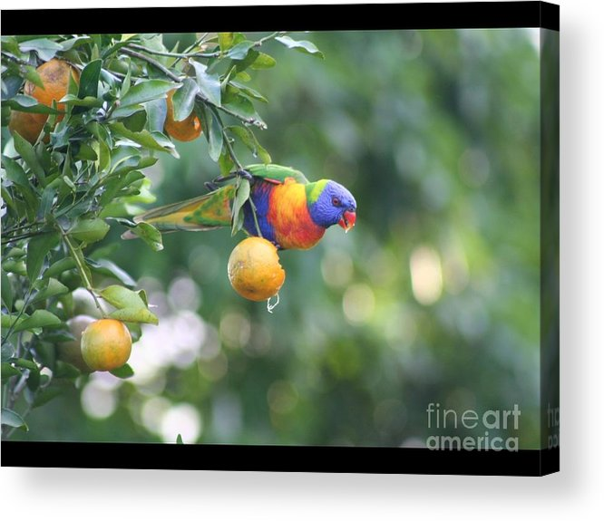 Rainbow Lorikeet Acrylic Print featuring the photograph Lunch by Barry Olsen