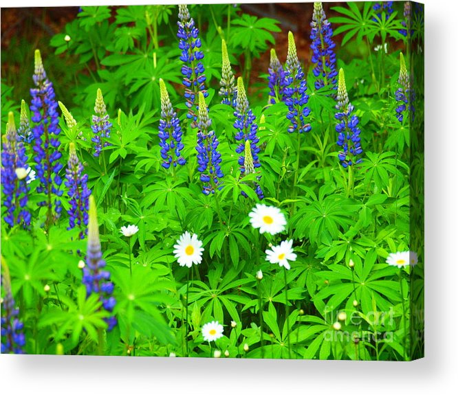 Photograph Acrylic Print featuring the photograph Lupines And Daisies 11 by Tammy Bullard