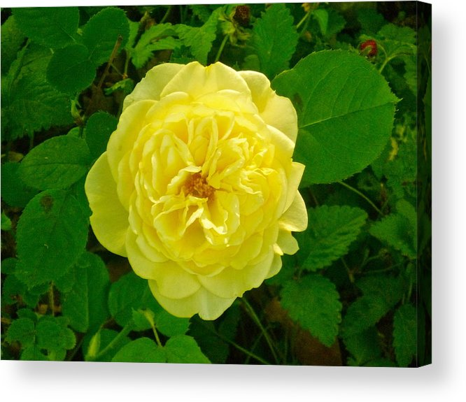 Yellow Rose. Acrylic Print featuring the photograph Mom's Surprise Rose by Elena Runkle