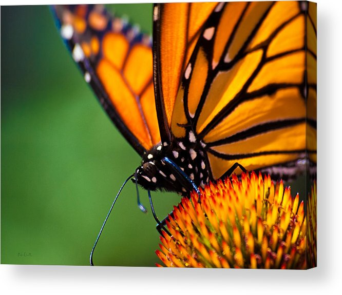 Monarch Acrylic Print featuring the photograph Monarch Butterfly Headshot by Bob Orsillo