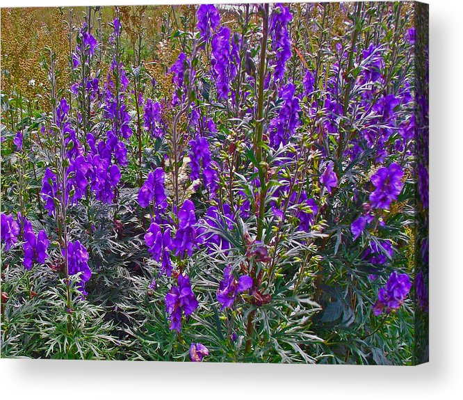 Monkshood Rocky Harbour In Gros Morne Np Acrylic Print featuring the photograph Monkshood In Rocky Harbour-nl by Ruth Hager