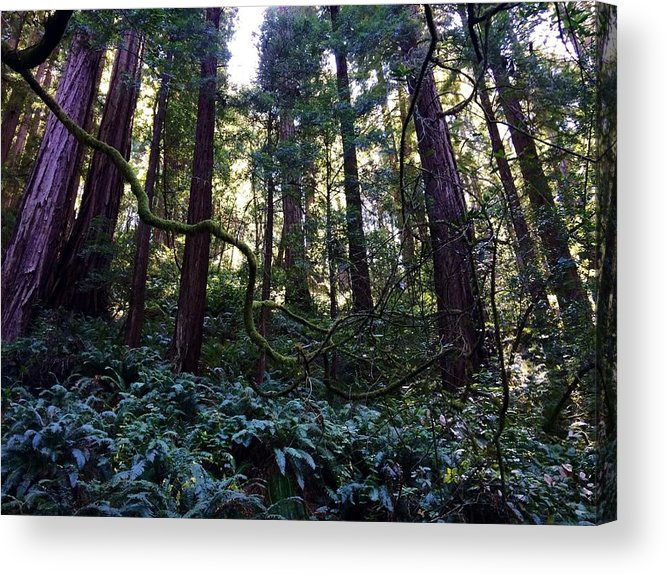 California Acrylic Print featuring the photograph Muir Woods by Jacqueline Ross