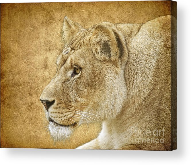 Lion Acrylic Print featuring the photograph On Target by Steve McKinzie