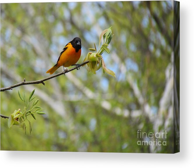 Baltimore Oriole Acrylic Print featuring the photograph Oriole by Randi Shenkman