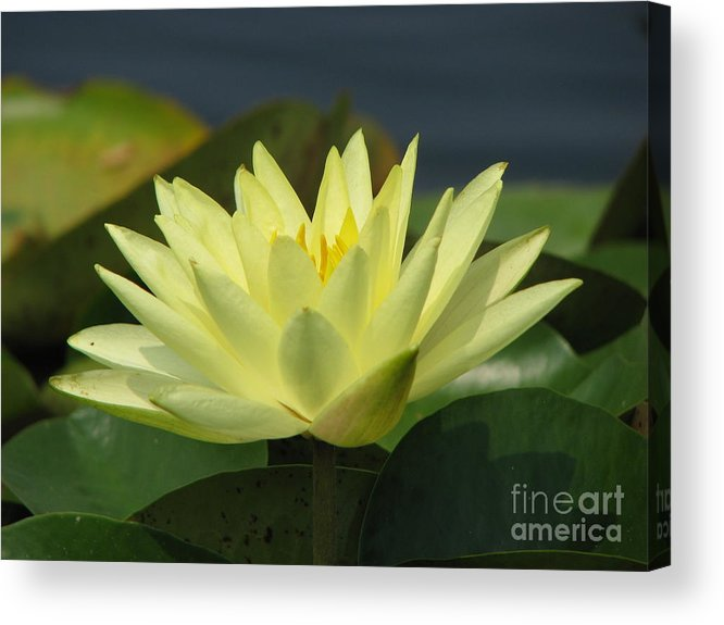 Lillies Acrylic Print featuring the photograph Peace by Amanda Barcon