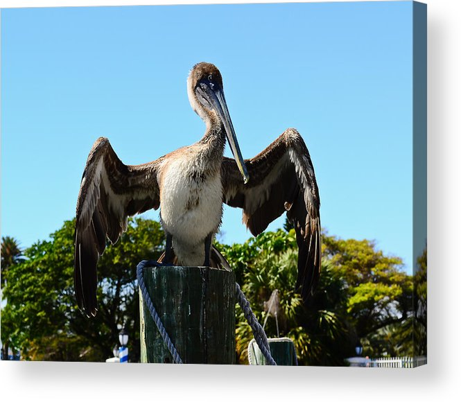 Water Birds Acrylic Print featuring the photograph Pelican At Rest by Lonnie Wooten