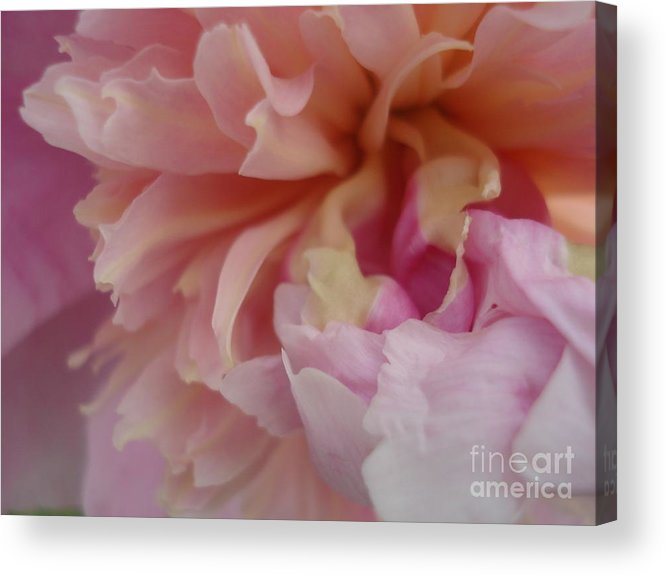 Peony Acrylic Print featuring the painting Peony Compassion by Kim Heil