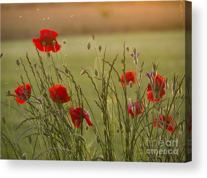 Papaver Acrylic Print featuring the photograph Poppies At Sundown by Elizabeth Debenham
