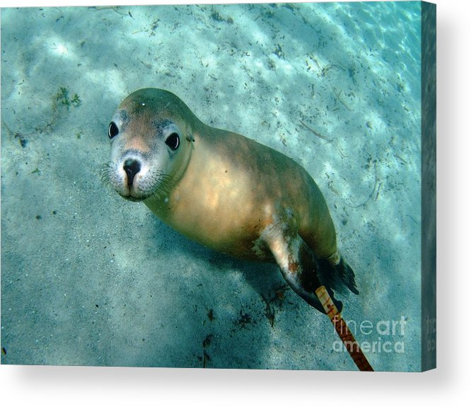 Australian Sea Lion Acrylic Print featuring the photograph Sea Lion On The Seafloor by Crystal Beckmann