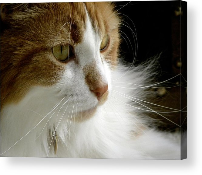 Maine Coon Cat Acrylic Print featuring the photograph Serious Gato 1 by Julie Palencia