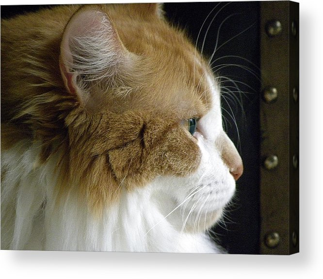 Maine Acrylic Print featuring the photograph Serious Gato 2 by Julie Palencia