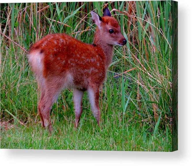 Deer Acrylic Print featuring the photograph Sika Fawn 1 by Stephanie Kendall