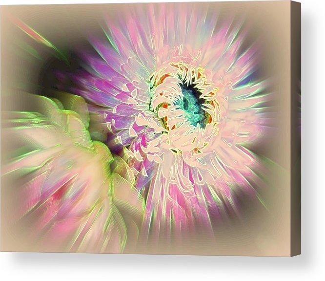 Strawflower Acrylic Print featuring the photograph Strawflower Awakening by Shirley Sirois