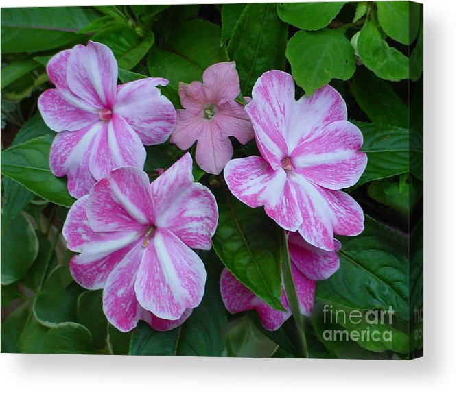 Flower Acrylic Print featuring the photograph Striped Flower by Nancie Johnson