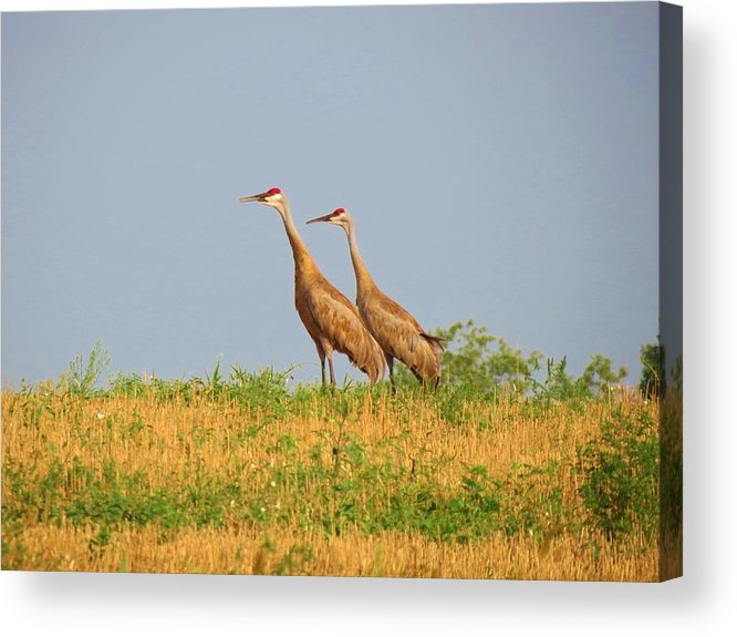 Birds Acrylic Print featuring the photograph Strolling Sandhills by Feva Fotos
