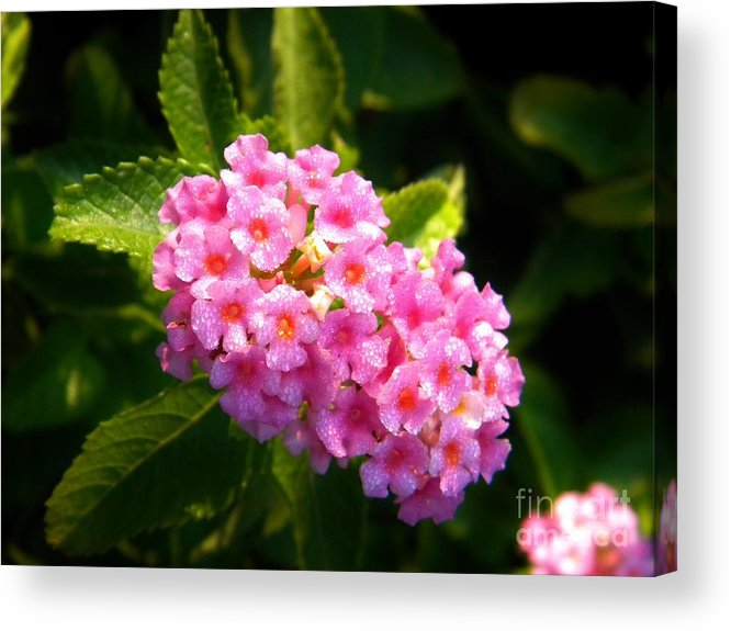 Pink Acrylic Print featuring the photograph Sunday Morning Pink by Matthew Seufer
