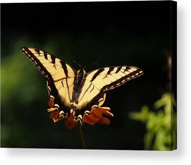 Flowers Acrylic Print featuring the photograph Swallowtail Butterfly by Dorothy Lee