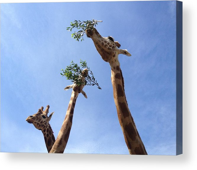Zoo Acrylic Print featuring the photograph Three Giraffes 3 by Dan Kerr