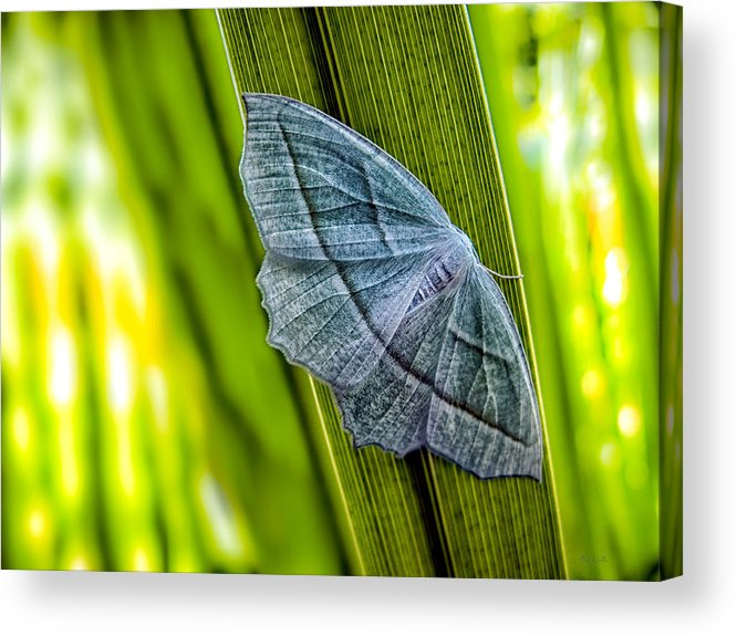 Butterfly Acrylic Print featuring the photograph Tiny Moth On A Blade Of Grass by Bob Orsillo