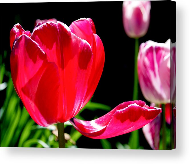 Tulip Acrylic Print featuring the photograph Tulip Extended by Rona Black