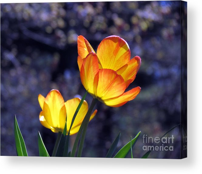 Flowers Acrylic Print featuring the photograph Tulips With Purple Bokeh by Lili Feinstein