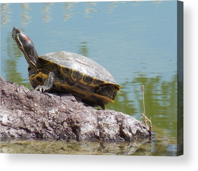 Turtle Acrylic Print featuring the photograph Turtle At The Lake by Nina Kindred