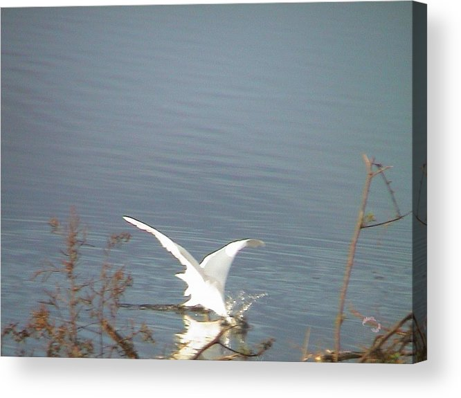 Heron Acrylic Print featuring the photograph White Heron Feeding In Lake by Robert Norcia