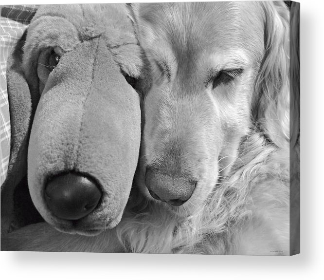 Golden Retriever Acrylic Print featuring the photograph Who Has The Biggest Nose Golden Retriever Dog by Jennie Marie Schell