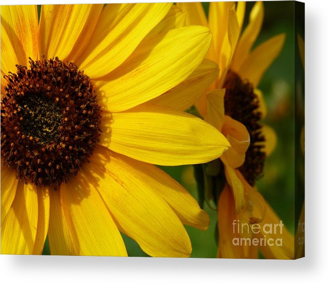 Daisy Acrylic Print featuring the photograph Yellow Daisy by Christine Stack