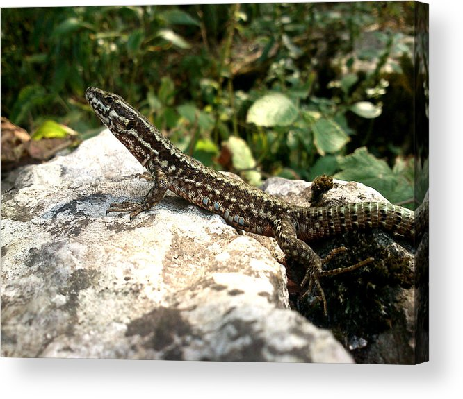 Lizard Acrylic Print featuring the photograph Dragon by Lucy D