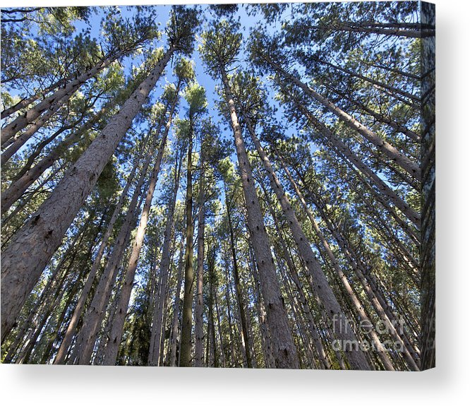 Forest Acrylic Print featuring the photograph Power In Pines by Cheryl Butler