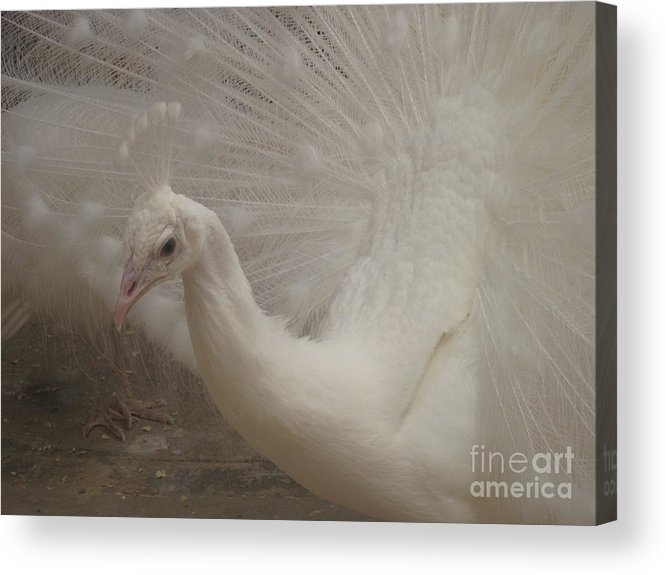 Acrylic Print featuring the photograph White Peacock by Miss McLean