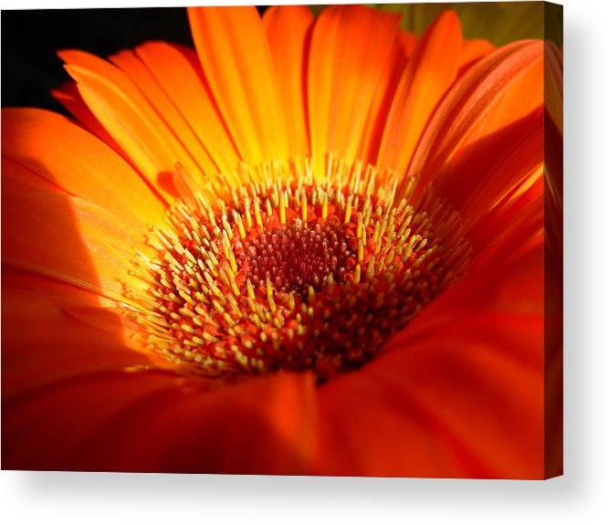 Gerbera Photographs Acrylic Print featuring the photograph 1219 by Kimberlie Gerner